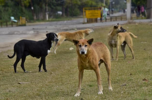 As per the information, as many as 7,416 dog bite cases were reported in the year 2019 (including those from outside MC limits.(Gurpreet Singh/HT)