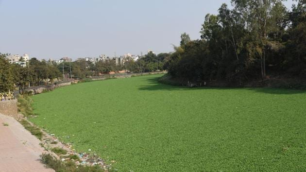 The Pavana river from the Morya Gosavi temple across, till the other bank, is completely covered with hyacinth. Gajanan Patil, district head, Shiv Sena alleged that the river is proving to be a health hazard for residents.(HT PHOTO)