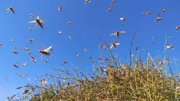 Locusts can either be controlled biologically or through pesticides. (HT photo)