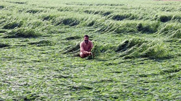 In Madhya Pradesh, hail damaged crops in at least 10 districts, including Mandla, Dindori, Katni and Satna.(Photo: Sanjeev Kumar/ Hindustan Times)