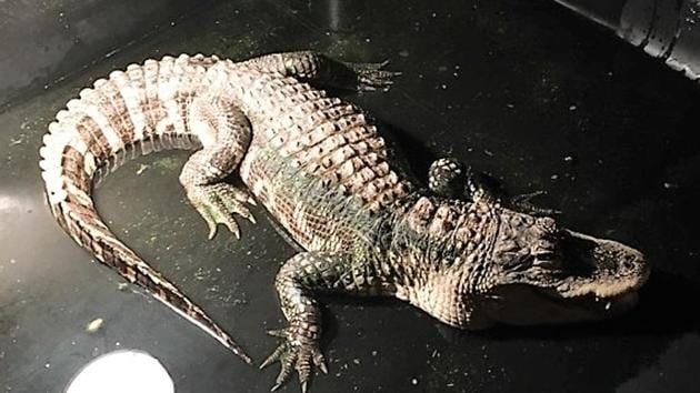 The alligator will be taken to an animal sanctuary.(Madison Township Police Department)