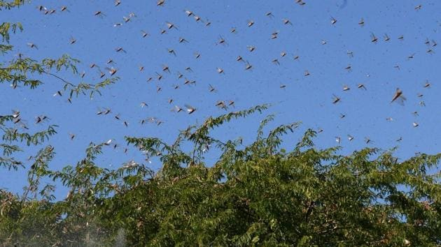 Locusts fly over trees near Miyal village in Banaskantha district some 250km from Ahmedabad on December 27, 2019. - A massive locust invasion has destroyed thousands of hectares of crops in northwest India.(AFP)