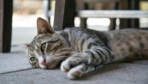 PETA India has offered to help the relevant authorities by finding the cat a loving, permanent home in India. (representational image)(Unsplash)