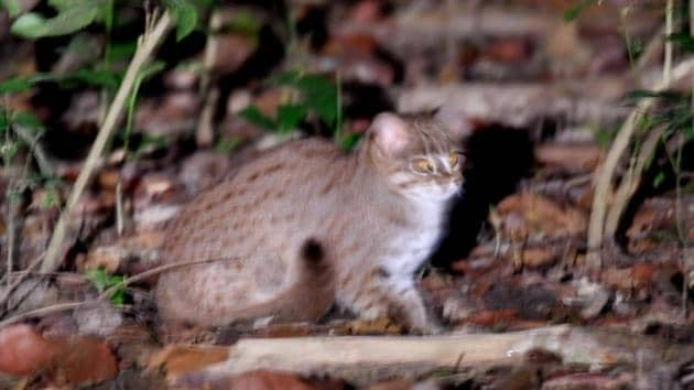 Image shows a rusty-spotted cat that was spotted in Pilibhit Tiger Reserve.(Ht File Photo)