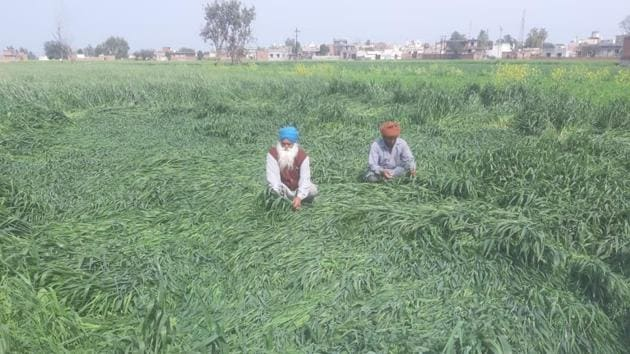 Farmers of wheat and mustard in Punjab and Haryana have cited damage to their crops.(HT file photo)