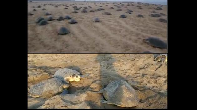 Scenario of Olive Ridley turtles waddling to the beach to start laying and nesting their eggs(Twitter/@susantananda3)