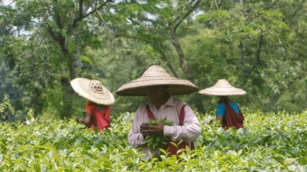 The Darjeeling hills and Dooars region of West Bengal have 283 tea gardens, employing 350,000 permanent and casual workers, who earn Rs 132.50 per day besides the weekly ration.(REUTERS/Representative File Photo)