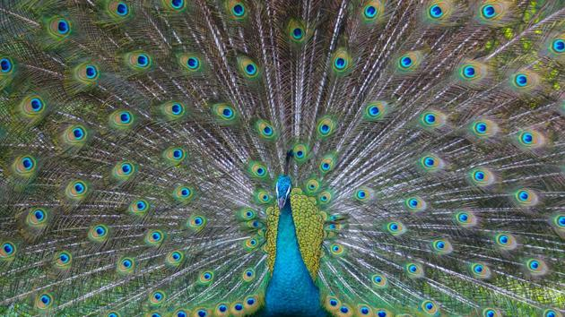 The image shows a peacock with its feathers out (representational image).(Unsplash)