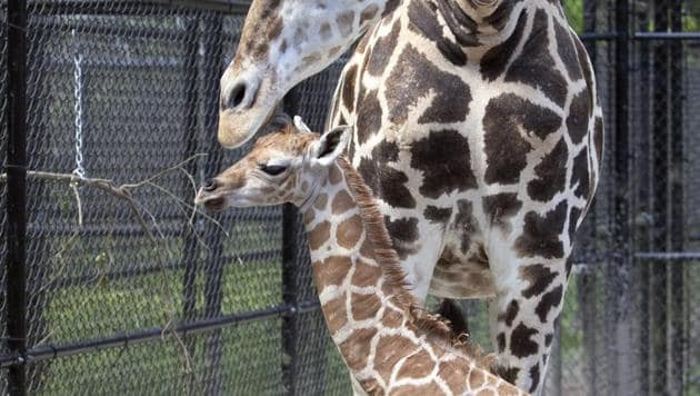 The Audubon Nature Institute in New Orleans welcomed a new resident, a baby giraffe named Hope.(AP)