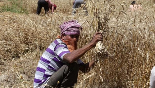 A farmer harvesting wheat in a Mohali village amid the nationwide lockdown on Monday.(Gurminder Singh/HT)