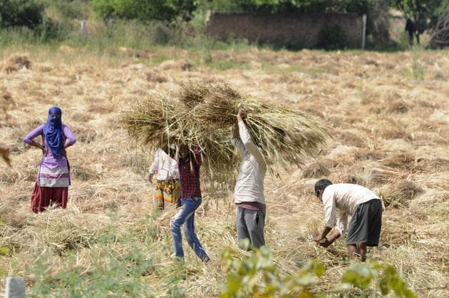 Farm workers seen harvesting crop in a field, on day eighteen of the 21 day lockdown to limit the coronavirus, near Yamuna Expressway, in Greater Noida, India, on Saturday, April 11, 2020.(Photo: Sunil Ghosh / Hindustan Times)