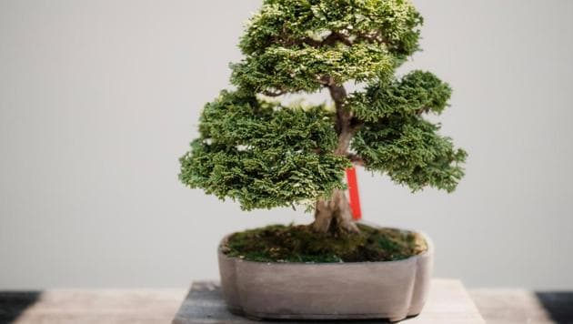 World Heritage Day 2020: Bonsai, traditional Japanese dwarf tree art attracts visitors in large numbers.(Unsplash)