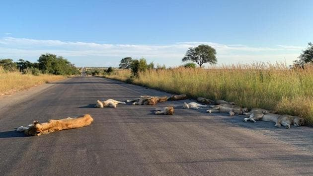 The incredible pictures of the lions have gone viral.(Twitter/@SANParksKNP)