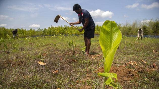An Indian farmer plants banana plant saplings at a plantain farm at Daranggiri village, west of Gauhati, India.(AP)