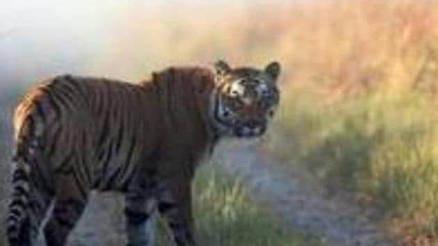 Delhi Zoo officials said that Kalpana, who was the oldest tigress there, fell ill on Tuesday and had stopped eating. She was shifted to an isolation cage for examination, but she died on Wednesday at 6.30 pm.(AP file photo. Representative image)