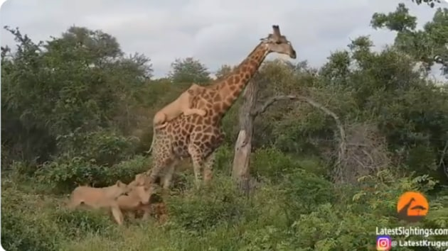 The image shows a pride of lions attacking a giraffe.(Screengrab)