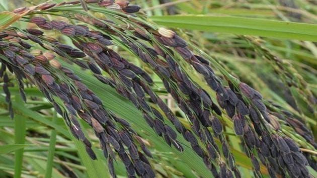 Manipur black rice.(HT Photo)