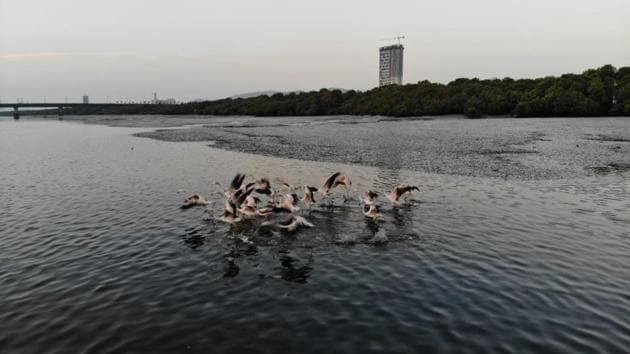 Flamingos spotted at Thane creek(HT Photo)