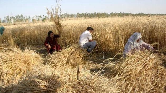 Farmers harvest wheat crop in their agricultural fields, during nationwide lockdown to combat coronavirus, in Kheri Sadh village, Rohtak, Haryana.(Manoj Dhaka/HT Photo)