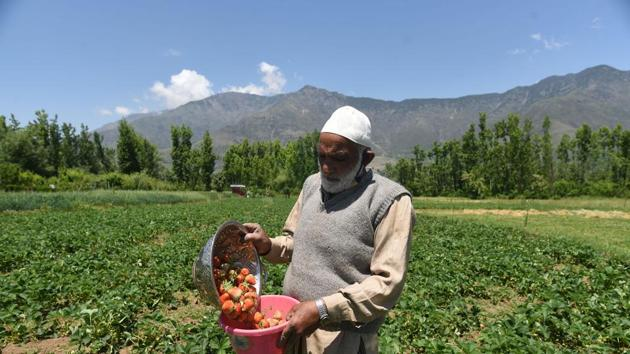 A farmer carrying freshly harvested strawberries at a farm in Gassu on the outskirts of Srinagar, Jammu and Kashmir.(Waseem Andrabi / Hindustan Times)
