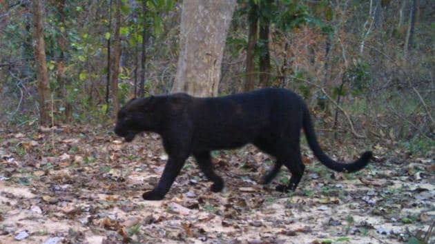 A black panther roams in Achanakmar Tiger Reserve in Bilaspur. This is the first sighting in seven years.(SOURCED)