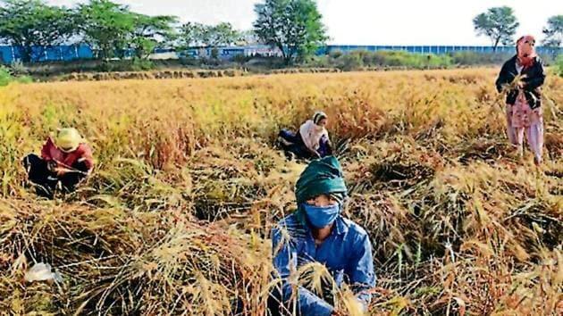 Farm workers harvest wheat crop near Najafgarh in New Delhi on April 16.(Vipin Kumar/HT PHOTO)