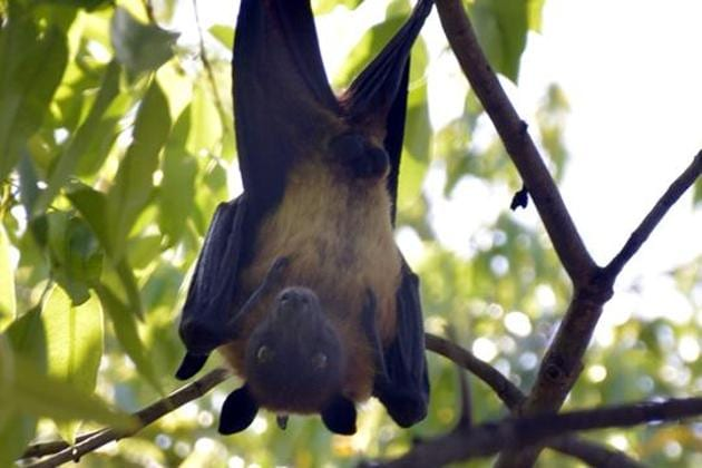 The bats couldn't have died of bird flu, as the high temperatures being experienced currently is not conducive to the disease, said doctors.(HT Photo/Representative use)