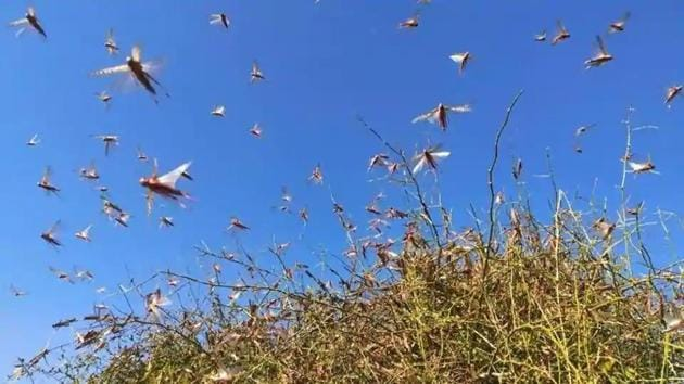 """The United Nations (UN) has warned that armies of locusts swarming across continents pose a """"severe risk"""" to India's agriculture this year.(HT file photo)"""