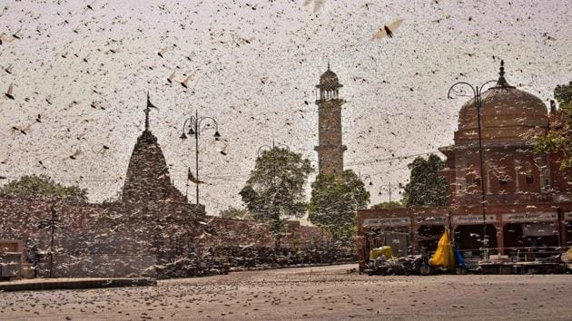 Swarms of locust in the walled city of Jaipur, Rajasthan on May 25, 2020. More than half of Rajasthan's 33 districts are affected by invasion by these crop-munching insects.(PTI)