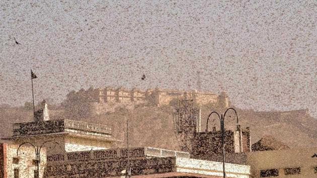 Swarms of locust in the walled city of Jaipur, in Rajasthan on Monday.(PTI Photo)