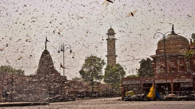 Swarms of locust in the walled city of Jaipur, Rajasthan, on Monday.(PTI Photo)