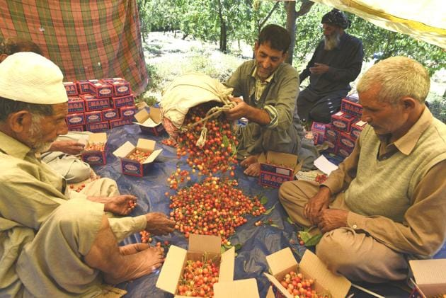 Kashmir exports some 3,500 to 4000 metric tonnes of cherries to other states every year.(HT file photo)