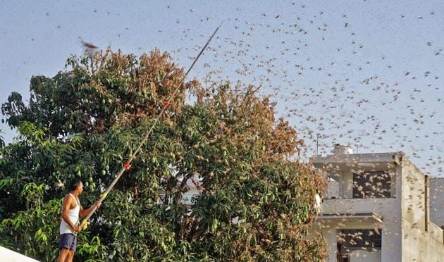 Swarms of desert locusts have devastated crops in India's heartland, threatening an already vulnerable region that is struggling with the economic cost of coronavirus lockdown.(AFP Photo)