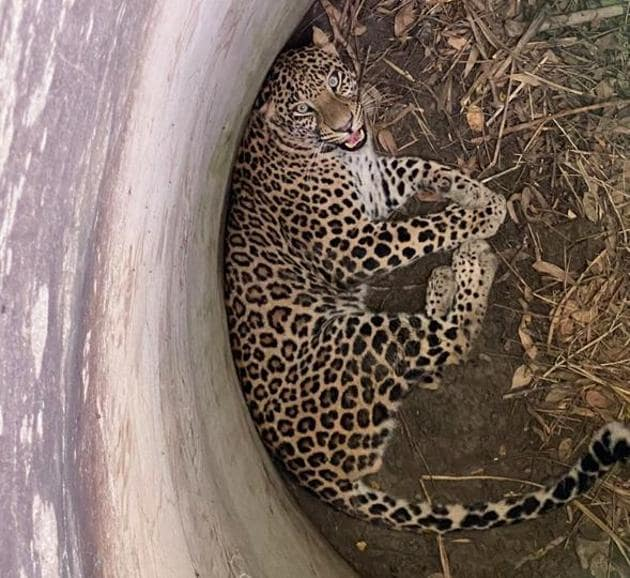 The leopard was given a medical examination by the veterinary team and then transported to the forest range office in a transport cage.(Sourced)