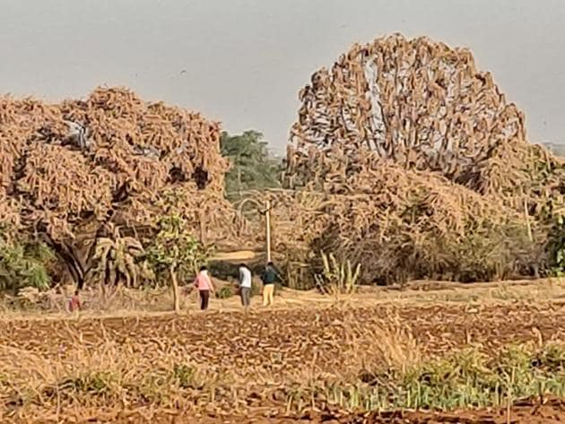 Trees and fields have turned brown after locusts settled on them.(HT Photo)