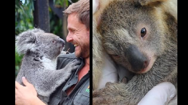 As a staffer approaches the Koala mom, she clutches the person for some cuddles.(Facebook/@Australian Reptile Park)