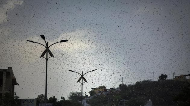 The invading insects from Sindh in neighbouring Pakistan is moving across Rajasthan, Punjab, Gujarat, Maharashtra, and Madhya Pradesh at a high speed.(AP)