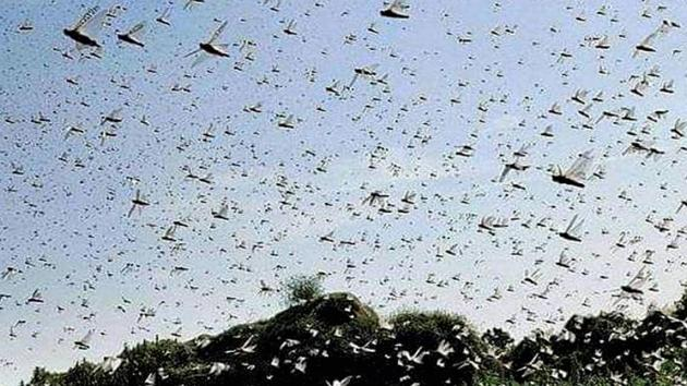 Swarm of locusts seen above a field in Damoh district of Madhya Pradesh.(PTI Photo)