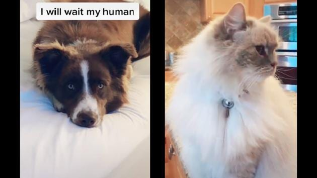 Whose side are you on? Team cat or team dog?(TikTok/@willygooddog)
