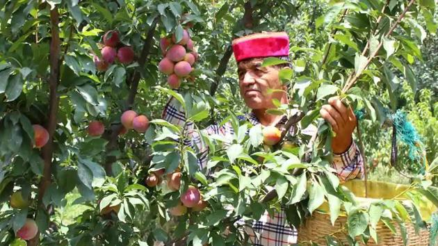 Shimla district is a major producer of apples and stone fruits especially cherries(Representative image)
