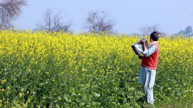 A farmer beats a tin to create noise to check locusts in a village in Fazilka district, in Chandigarh. (Photo by Sanjeev Kumar//Hindustan Times)