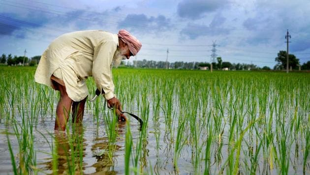 On February 19, the PAU had recommended PR 128, PR 129 and five other varieties of paddy for general cultivation in Punjab.(HT File Photo)