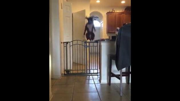 Here's a look at the dog performing the high jump over a gate.(Twitter)