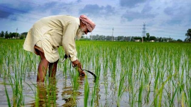 Mohali district has 28,000 hectares of area under paddy.(HT File Photo)