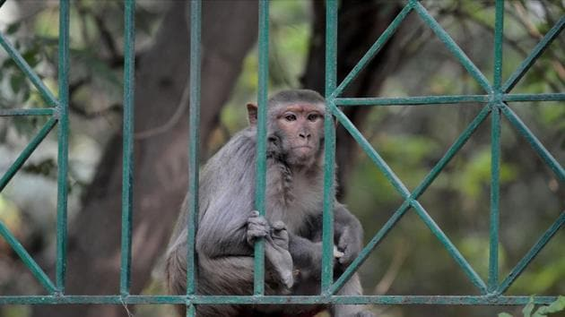 The monkeys tore the kit and tried eating the sample. The matter came into focus after a video of the incident began circulating.(Parveen Kumar/HT file photo. Representative image)
