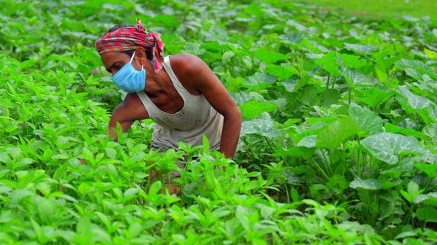 A farmer wears a mask as he works in his field during the nationwide lockdown due to coronavirus in Agartala.(ANI PHOTO.)