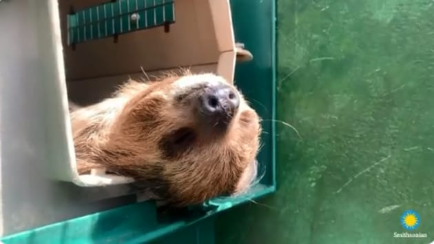 The image shows the two-toed sloth named Athena.(Twitter/@NationalZoo)