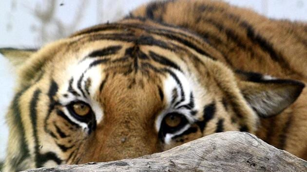 Forest officials said the tiger, named A2, was moving in Goleti and Kairiguda areas. (representative image)(HT Photos)