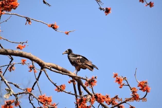 The officer's rare spotting included 150 to 160 vultures of four species, along with the critically-endangered white-rumped vulture and endangered Egyptian vulture, roosting off the Katni-Panna highway, about 60 km from the Panna Tiger Reserve.(HT sourced photo/ Hemant Yadav)