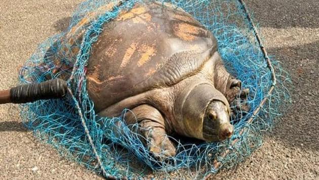 Trionychidae turtles are softshell turtles.(ANI)